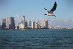 Seagull in flight over Miami Royalty Free Stock Image