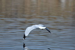 Seagull in flight over a lake Royalty Free Stock Photography