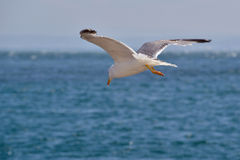 The seagull Stock Photo