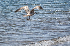 A Seagull in Flight Stock Images