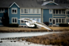 Seagull. In flight over pond Royalty Free Stock Photos