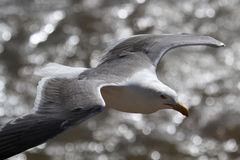 Seagull in flight over the sea Royalty Free Stock Image