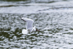 Seagull. In flight over water Royalty Free Stock Photography