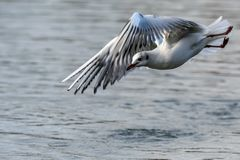 Seagull in flight over water stock image