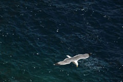 Seagull in flight. Picture is suited for backgrounds, was snaped on Amalfy coast, Italy Stock Photography