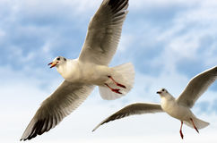 Seagull in flight. With prey and pursuer Stock Images