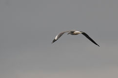 Seagull flight rear - Naivasha (Kenya, Africa) Royalty Free Stock Image