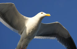 Seagull in flight, San Franciso Bay Area, California Stock Images