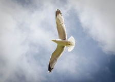 Seagull in Flight. Sharp and crisp image of a seagull in flight stock photography