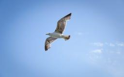 Seagull in flight. Stock Photo