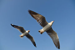 Seagull flight in sky Stock Image