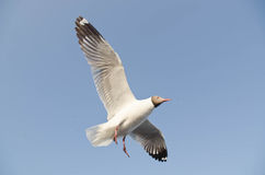 Seagull flight in sky Royalty Free Stock Photo