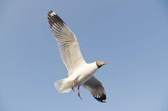 Seagull flight in sky Royalty Free Stock Photo