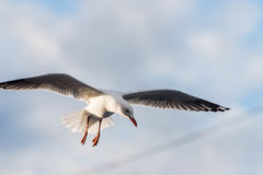Seagull in flight Royalty Free Stock Photos