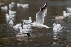 Seagull in flight, spreading wings Royalty Free Stock Images