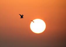 Seagull in flight during sunrise Stock Photo