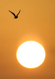 Seagull in flight at sunrise Royalty Free Stock Photo