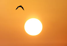 Seagull in flight during sunrise Royalty Free Stock Images