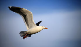 Seagull in Flight. A seagull takes to the sky near Santa Barbara, California Royalty Free Stock Photography