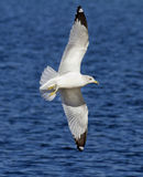Seagull in Flight Wing Spread Royalty Free Stock Images