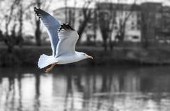Seagull Fliing Royaltyfria Foton