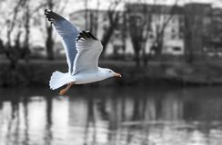 Seagull Fliing. A seagull is fliing over the river Royalty Free Stock Photos