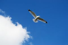 Seagull Floating Against a Heavenly Blue Sky. Lone Seagull Gliding against the Backdrop of a Beautiful blue sky with cotton puff clouds Stock Photos