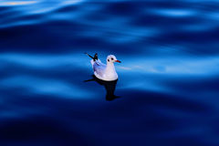Seagull floating in the blue sea. One white seagull floating in the deep blue sea stock photography