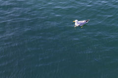 Seagull floating on a calm sea Royalty Free Stock Photos