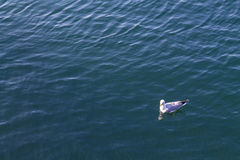 Seagull floating on a calm sea Stock Photography