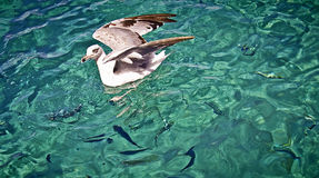 Seagull floating and fish silhouettes Royalty Free Stock Photography
