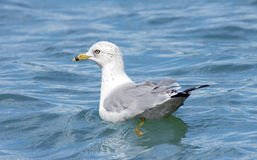 Seagull floating in the Lake Royalty Free Stock Photos