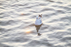 Seagull floating on the sea with golden reflection of water Royalty Free Stock Images