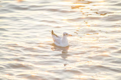 Seagull floating on the sea with golden reflection of water Royalty Free Stock Photos