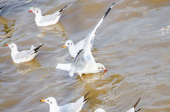 Seagull floating on the sea. Royalty Free Stock Photos