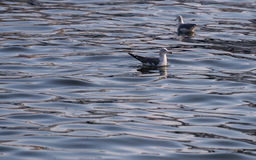 Seagull floating on sea. Royalty Free Stock Images