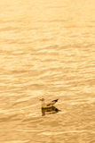 Seagull floating on the sea at sunset. A seagull floating on the sea at sunset. Vertical composition Royalty Free Stock Photo