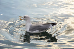 Seagull floating in the water catching a piece of bread Stock Photo