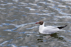 Seagull floating in water Stock Photography