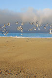 Seagull flock Royalty Free Stock Photography