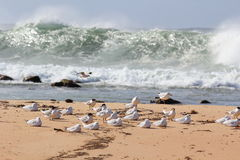 Seagull flock at beach by stormy sea Royalty Free Stock Photography
