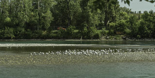 A Seagull flock on bow river banks. Close to Calgary downtown stock photo