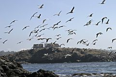 Seagull Flock In Flight Royalty Free Stock Photography