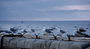 Seagull. A flock of seagulls on the pier Stock Images