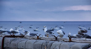 Seagull. A flock of seagulls rest on the dock Stock Image