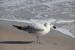 Seagull on Florida Beach Royalty Free Stock Photo