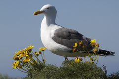 Seagull in flowers. Seagull surrounded by flowers, Anacapa, Island, California Royalty Free Stock Image