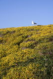 A Seagull and Flowers. A seagull atop a picnic table just behind a hill covered with yellow flowers royalty free stock photo