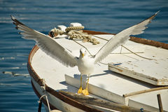 Seagull flown away from boat. Croatian seagull flying away from old boat Royalty Free Stock Photography
