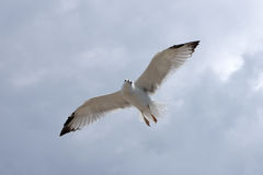 Seagull in the fly Royalty Free Stock Photography